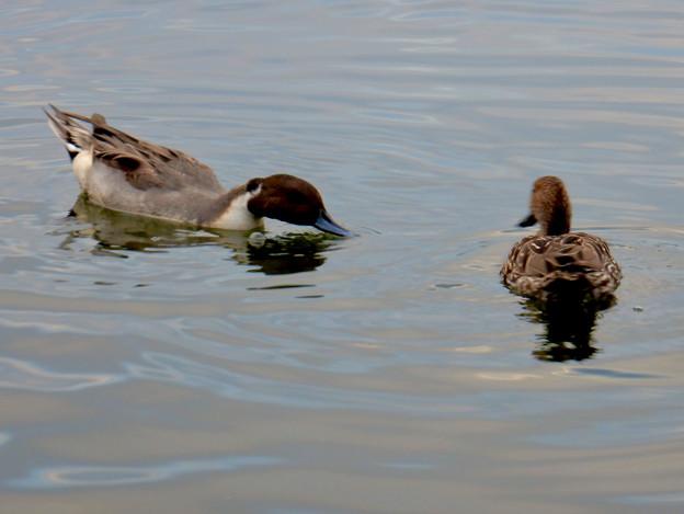 小幡緑地 緑ヶ池にいた鳥 - 22:オナガガモのつがい?