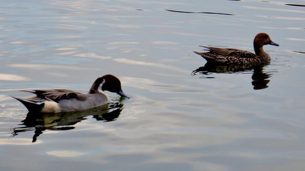 小幡緑地 緑ヶ池にいた鳥 - 29:オナガガモ