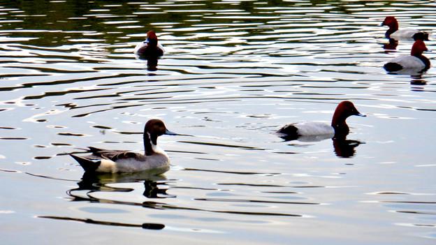 小幡緑地 緑ヶ池にいた鳥 - 30:オナガガモのオスとホシハジロの群れ