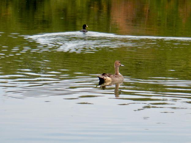 小幡緑地 緑ヶ池にいた鳥 - 8:オオバン(写真奥)と別の種の鳥