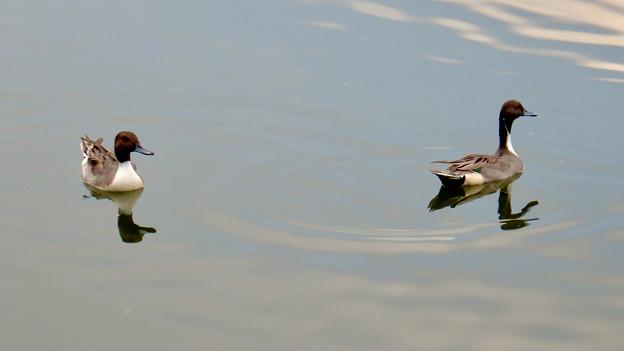 小幡緑地 緑ヶ池にいた鳥 - 12:オナガガモのオス