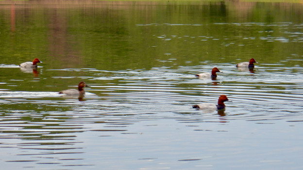 小幡緑地 緑ヶ池にいた鳥 -  21:ホシハジロの群れ