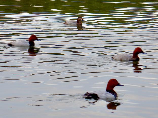 小幡緑地 緑ヶ池にいた鳥 - 26:ホシハジロの群れ