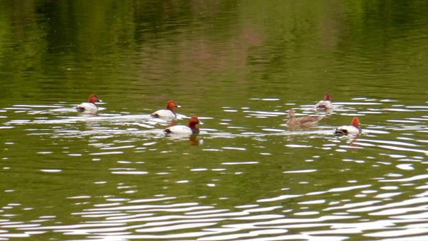 小幡緑地 緑ヶ池にいた鳥 - 11:ホシハジロの群れ