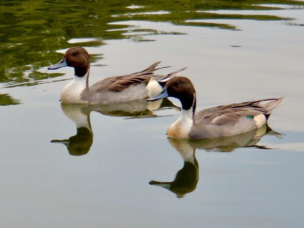 小幡緑地 緑ヶ池にいた鳥 - 17:オナガガモのオス