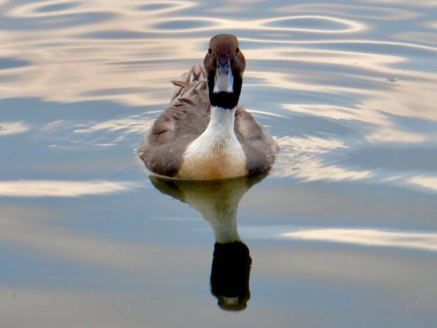 小幡緑地 緑ヶ池にた鳥 - 24:オナガガモのオス