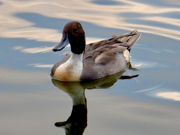 小幡緑地 緑ヶ池にいた鳥 - 25:オナガガモのオス