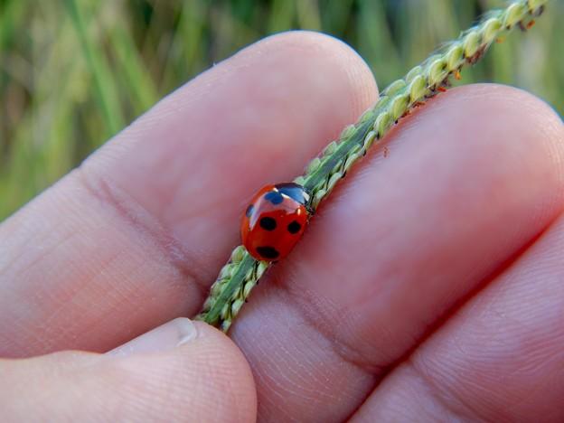 草の上にいたテントウムシ