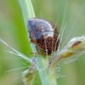 Photos: 草の上にいたマルカメムシ - 2