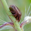 Photos: 草の上にいたマルカメムシ - 3