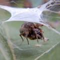 Photos: 葉っぱの上に巣を作っていた蜘蛛 - 3