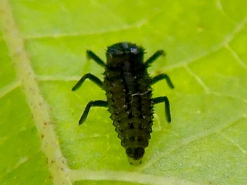 葉っぱの裏にいたナミテントウの幼虫 - 2
