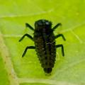 Photos: 葉っぱの裏にいたナミテントウの幼虫 - 2