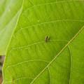 Photos: 葉っぱの上にいた、キイロシキアブ? - 1