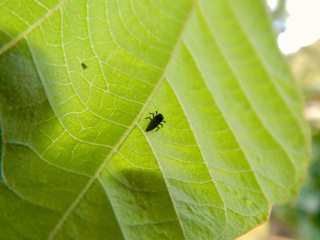 葉っぱの裏にいたナミテントウの幼虫 - 1