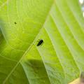 Photos: 葉っぱの裏にいたナミテントウの幼虫 - 1