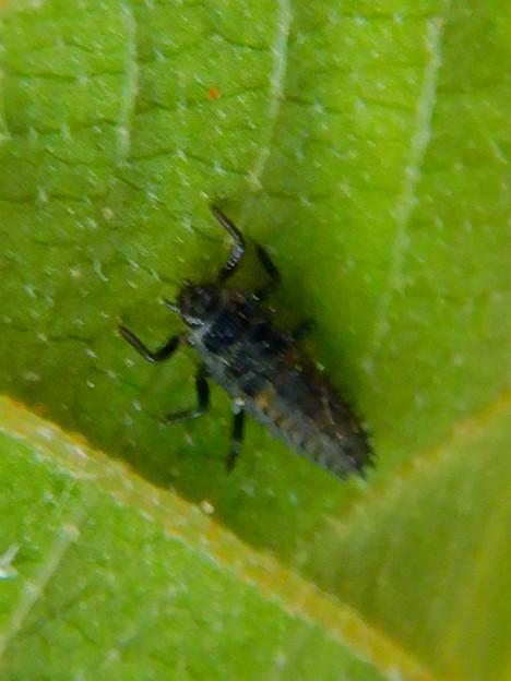 葉っぱの裏にいたナミテントウの幼虫 - 5