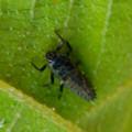 Photos: 葉っぱの裏にいたナミテントウの幼虫 - 5