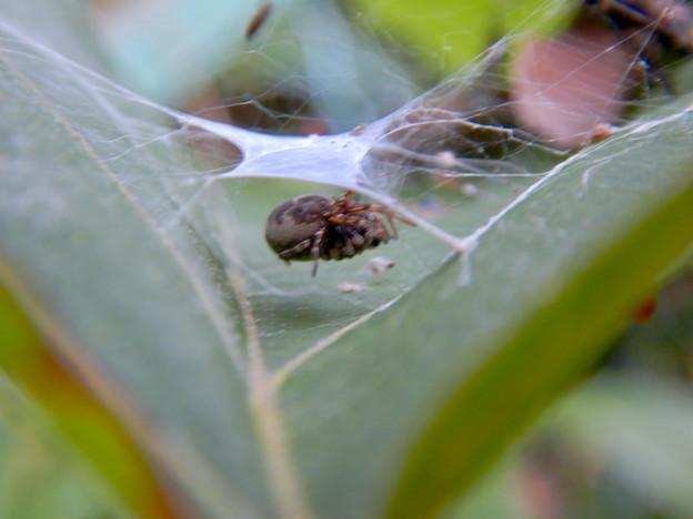 Photos: 葉っぱの上に巣を作っていた蜘蛛 - 2
