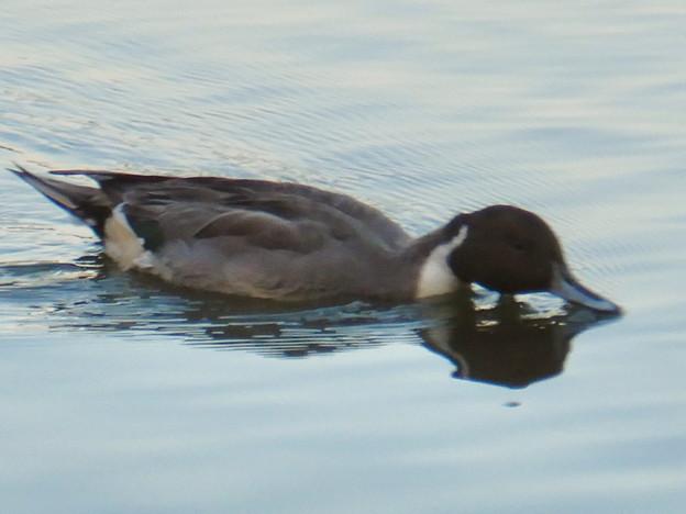 小幡緑地 緑ヶ池にいた野鳥:池の上の餌をすくうオナガガモ