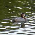 小幡緑地 緑ヶ池にいた野鳥