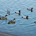 小幡緑地 緑ヶ池にいた野鳥の混群 - 1:ホシハジロ、オナガガモ