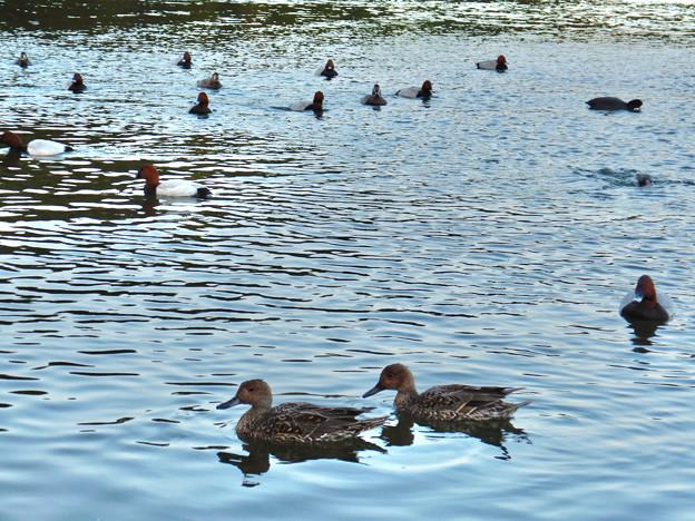 小幡緑地 緑ヶ池にいた野鳥の混群 - 3:ホシハジロ、オナガガモ