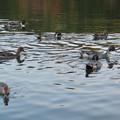 小幡緑地 緑ヶ池にいた野鳥の混群 - 5:ホシハジロ、オナガガモ