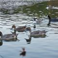 小幡緑地 緑ヶ池にいた野鳥の混群 - 6:ホシハジロ、オナガガモ、オオバン