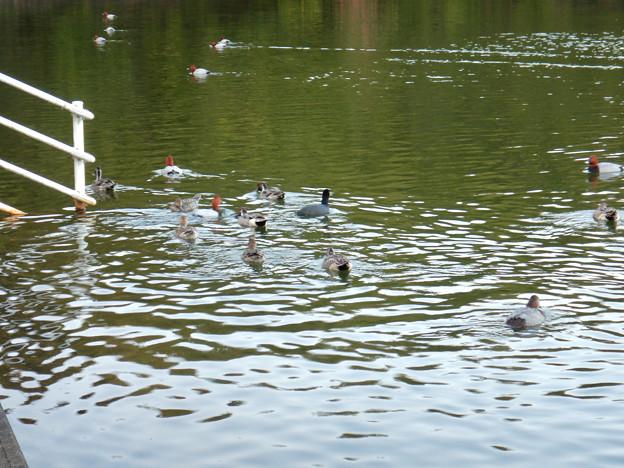 小幡緑地 緑ヶ池にいた野鳥の混群 - 7:ホシハジロ、オナガガモ、オオバン