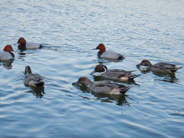 小幡緑地 緑ヶ池にいた野鳥の混群 - 2:ホシハジロ、オナガガモ