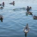 小幡緑地 緑ヶ池にいた野鳥の混群 - 4:ホシハジロ、オナガガモ、オオバン
