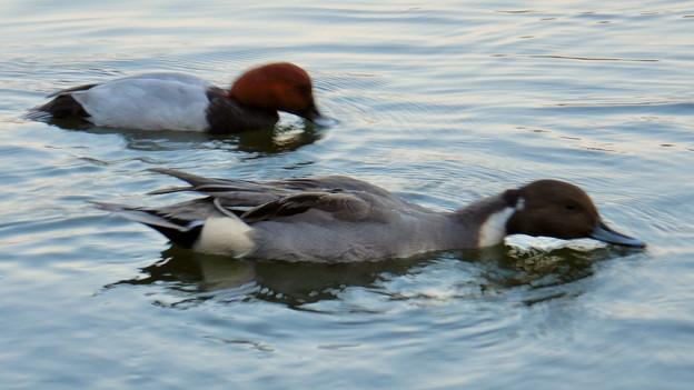 小幡緑地 緑ヶ池にいた野鳥:池の上の餌をすくう、ホシハジロとオナガガモ.jpeg