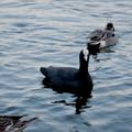 Photos: 小幡緑地 緑ヶ池にいたオオバン - 24
