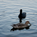 Photos: 小幡緑地 緑ヶ池にいたオオバン - 11