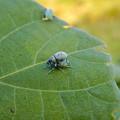 Photos: 葉の上にいたコフキゾウムシ - 2