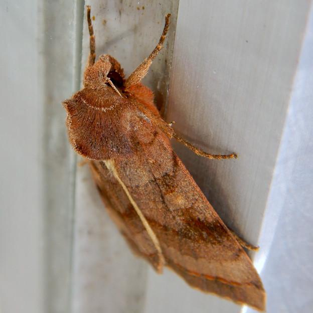 コンビニの扉の持ち手にいた白い線のある蛾 - 2