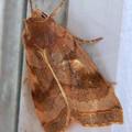 Photos: コンビニの扉の持ち手にいた白い線のある蛾 - 1