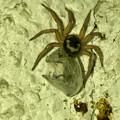 Photos: 何か昆虫を捕まえていたヒラタグモ - 3