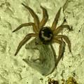 Photos: 何か昆虫を捕まえていたヒラタグモ - 4