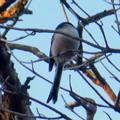 Photos: 弥勒山山頂の木にいたヤマガラ? - 3