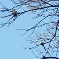 Photos: 弥勒山山頂の木にいたヤマガラ? - 4