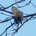 Photos: 弥勒山山頂の木にいたヤマガラ? - 5