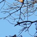 Photos: 弥勒山山頂の木にいたヤマガラ? - 7
