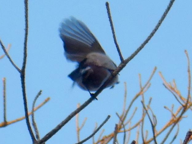 Photos: 弥勒山山頂の木にいたヤマガラ? - 13