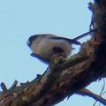 Photos: 弥勒山山頂の木にいたヤマガラ? - 21