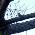 Photos: 弥勒山山頂の木にいたヤマガラ? - 1