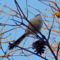 Photos: 弥勒山山頂の木にいたヤマガラ? - 16