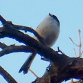 Photos: 弥勒山山頂の木にいたヤマガラ? - 10