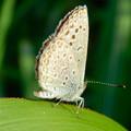 Photos: 草の上に止まるシジミチョウ - 1